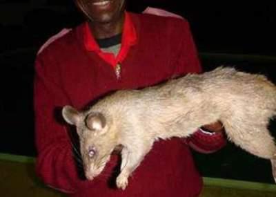 Bebé de tres meses fue deborada por una rata gigante